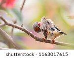 shafttail finch poephila... | Shutterstock . vector #1163017615