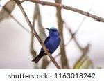 red legged honeycreeper... | Shutterstock . vector #1163018242
