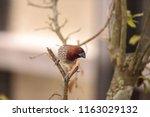 spice finch bird lonchura... | Shutterstock . vector #1163029132