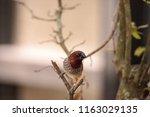 spice finch bird lonchura... | Shutterstock . vector #1163029135