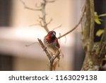 spice finch bird lonchura... | Shutterstock . vector #1163029138