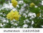 yellow cosmos or cosmos... | Shutterstock . vector #1163145268