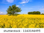summer yellow flowers meadow... | Shutterstock . vector #1163146495