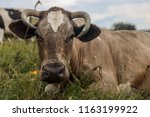 cow on a meadow. | Shutterstock . vector #1163199922