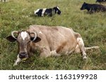 herd of cows on a meadow. | Shutterstock . vector #1163199928