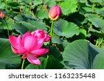 far eastern lotus v. komarova....   Shutterstock . vector #1163235448