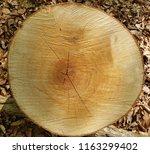 beech trunk  tree | Shutterstock . vector #1163299402