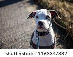 staffordshire bull terrier | Shutterstock . vector #1163347882