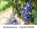red wine grapes background.... | Shutterstock . vector #1163415058