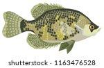 White Crappie - Freshwater sport fish