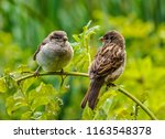 Two Sparrows Sit On A Branch...