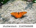 Gulf Fritillary Butterfly...