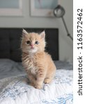 Stock photo tiny fluffy buff kitten sitting on striped blanket 1163572462