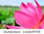 part of lotus flower close up....   Shutterstock . vector #1163659705