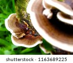 Small photo of Ganoderma Lucidum Mushroom on background,Ling Zhi Mushroom difference .