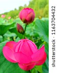 far eastern lotuses v. komarova....   Shutterstock . vector #1163704432