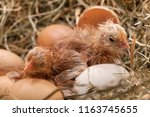 Newly Hatched Baby Chicken...