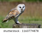 portrait of a barn owl  tyto... | Shutterstock . vector #1163774878