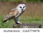 portrait of a barn owl  tyto...   Shutterstock . vector #1163774878