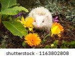 hedgehog  rare  wild  european  ... | Shutterstock . vector #1163802808