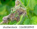 colony of small tortoiseshell... | Shutterstock . vector #1163818945