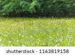 sunny edge of a wood including... | Shutterstock . vector #1163819158