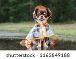 funny chihuahua dog sitting in... | Shutterstock . vector #1163849188