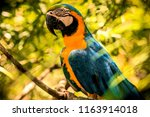 big portrait of blue and yellow ... | Shutterstock . vector #1163914018