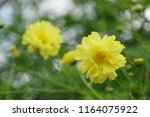 yellow cosmos or cosmos... | Shutterstock . vector #1164075922