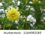 yellow cosmos or cosmos... | Shutterstock . vector #1164083185