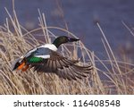 northern shoveler duck in... | Shutterstock . vector #116408548