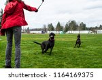 labradors playing in the park | Shutterstock . vector #1164169375