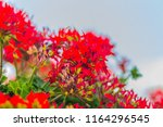beautiful red hybrid ivy leaf... | Shutterstock . vector #1164296545