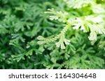 spike moss and light for... | Shutterstock . vector #1164304648