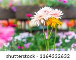 soft pink and yellow hybrid... | Shutterstock . vector #1164332632
