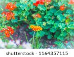 beautiful orange hybrid gerbera ... | Shutterstock . vector #1164357115