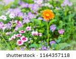beautiful orange hybrid gerbera ... | Shutterstock . vector #1164357118