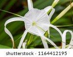hymenocallis x macrostephana a...   Shutterstock . vector #1164412195