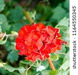 red garden flowers. nature... | Shutterstock . vector #1164550345