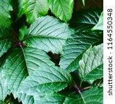 green leaves closeup. nature... | Shutterstock . vector #1164550348
