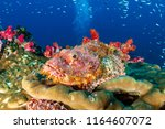 Camouflaged Scorpionfish On A...