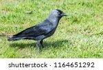 western jackdaw profile in... | Shutterstock . vector #1164651292