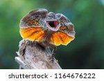 frilled dragon lizard ...   Shutterstock . vector #1164676222
