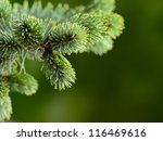 branch fir-tree - stock photo