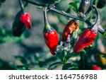 closeup of chili growing in the ... | Shutterstock . vector #1164756988