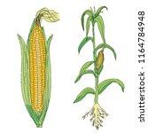 corn illustration vector | Shutterstock .eps vector #1164784948
