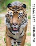 tiger   panthera tigris tigris  | Shutterstock . vector #1164799672