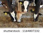 dairy farm cow | Shutterstock . vector #1164807232