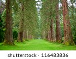 Empty park alley with  giant sequoia trees - stock photo