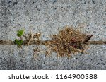 closeup view of a dead weed in... | Shutterstock . vector #1164900388